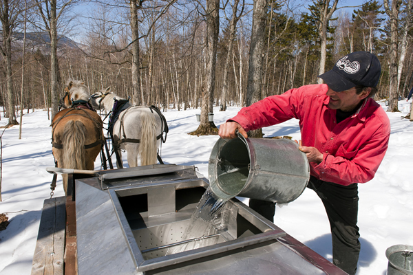 gathering maple sap for syrup making