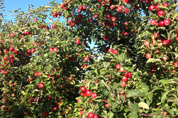 Apple trees full of apples.