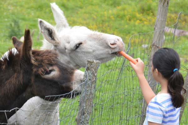 A young girl feeding farm grown carrots to two donkeys.