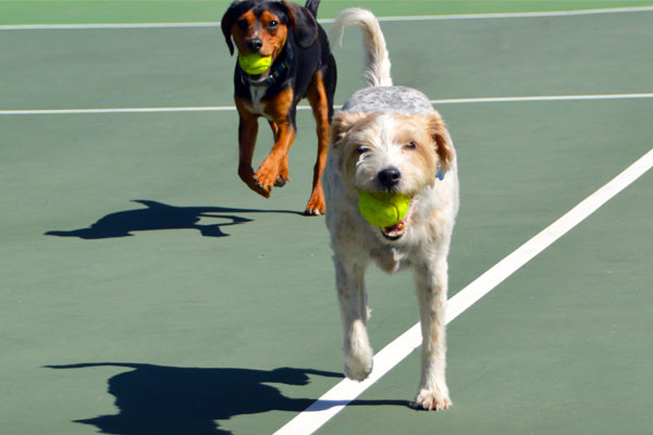 Two dogs enjoy fetching a tennis ball.