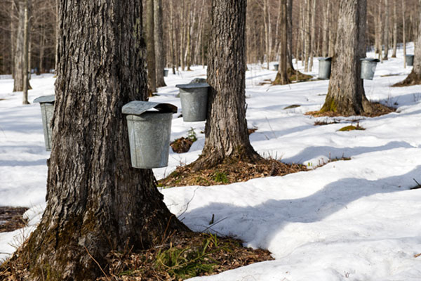 Step 1 of the process is tapping the maple trees.
